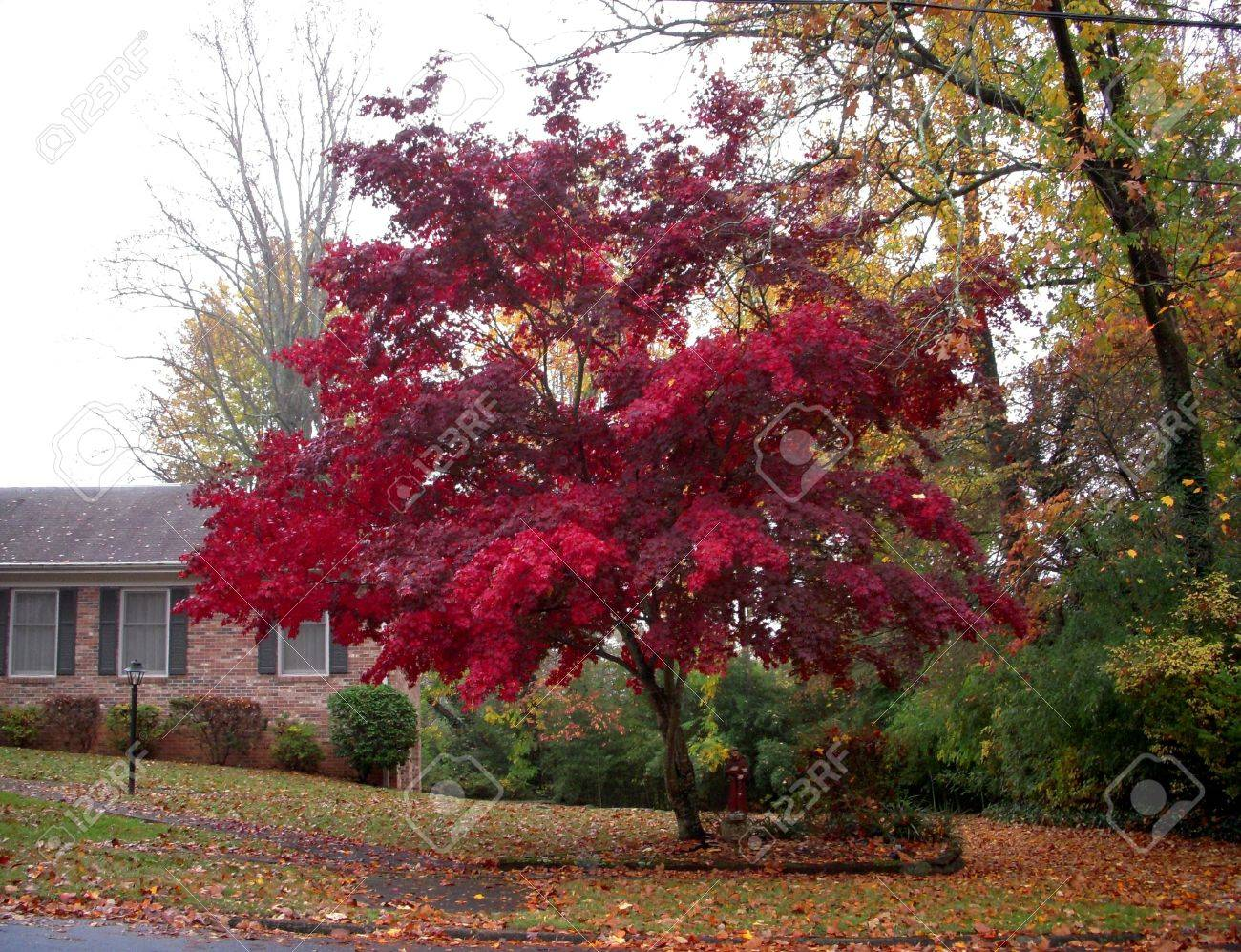 Scarlet maple in the fog Stock Photo - 4184034