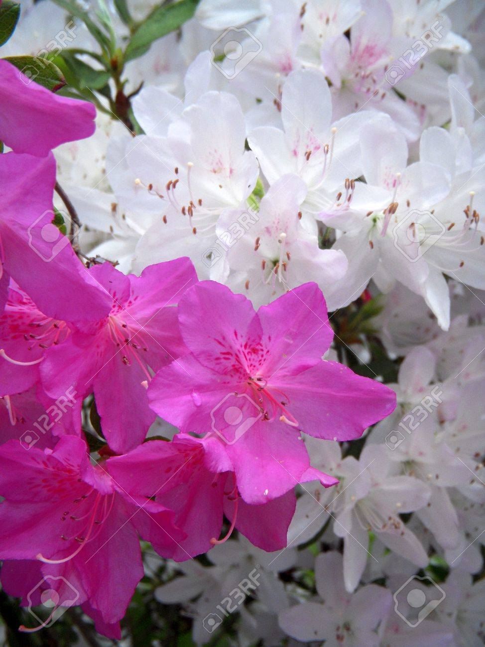 Closeup of white and pink azalea blossoms Stock Photo - 7008164