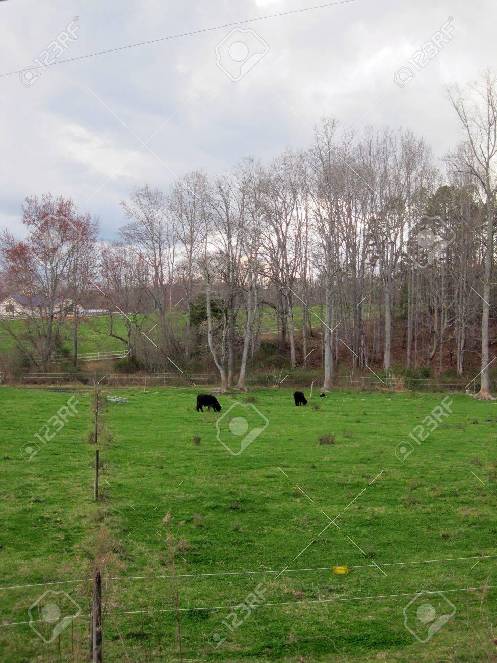Cows Stock Photo - 13564245