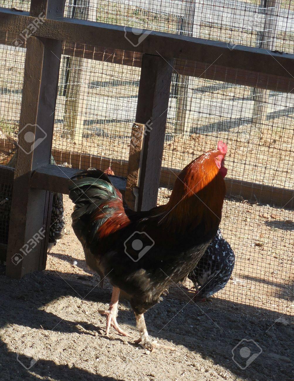 Chicken Stock Photo - 79242858
