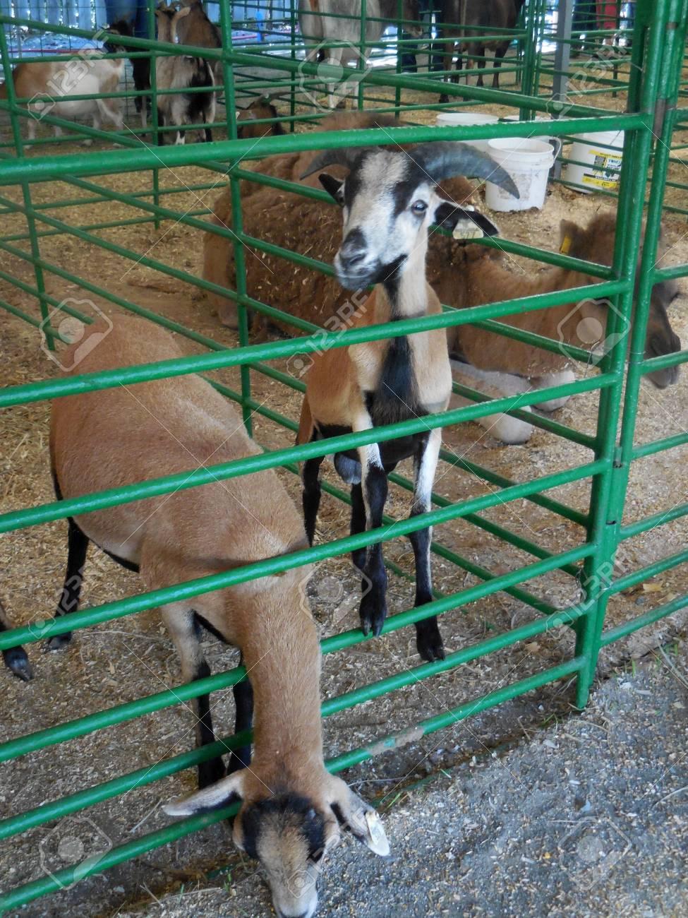 October 16, 2016 - Huntersville, NC - Goats at the Renaissance Festival petting zoo Stock Photo - 78727524