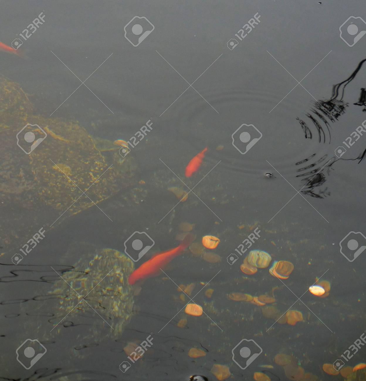 Koi fish Stock Photo - 88608083