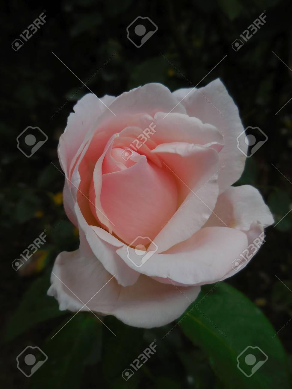 Pink rose Stock Photo - 88607230