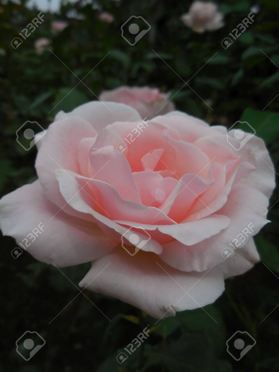 Pink rose Stock Photo - 88607233