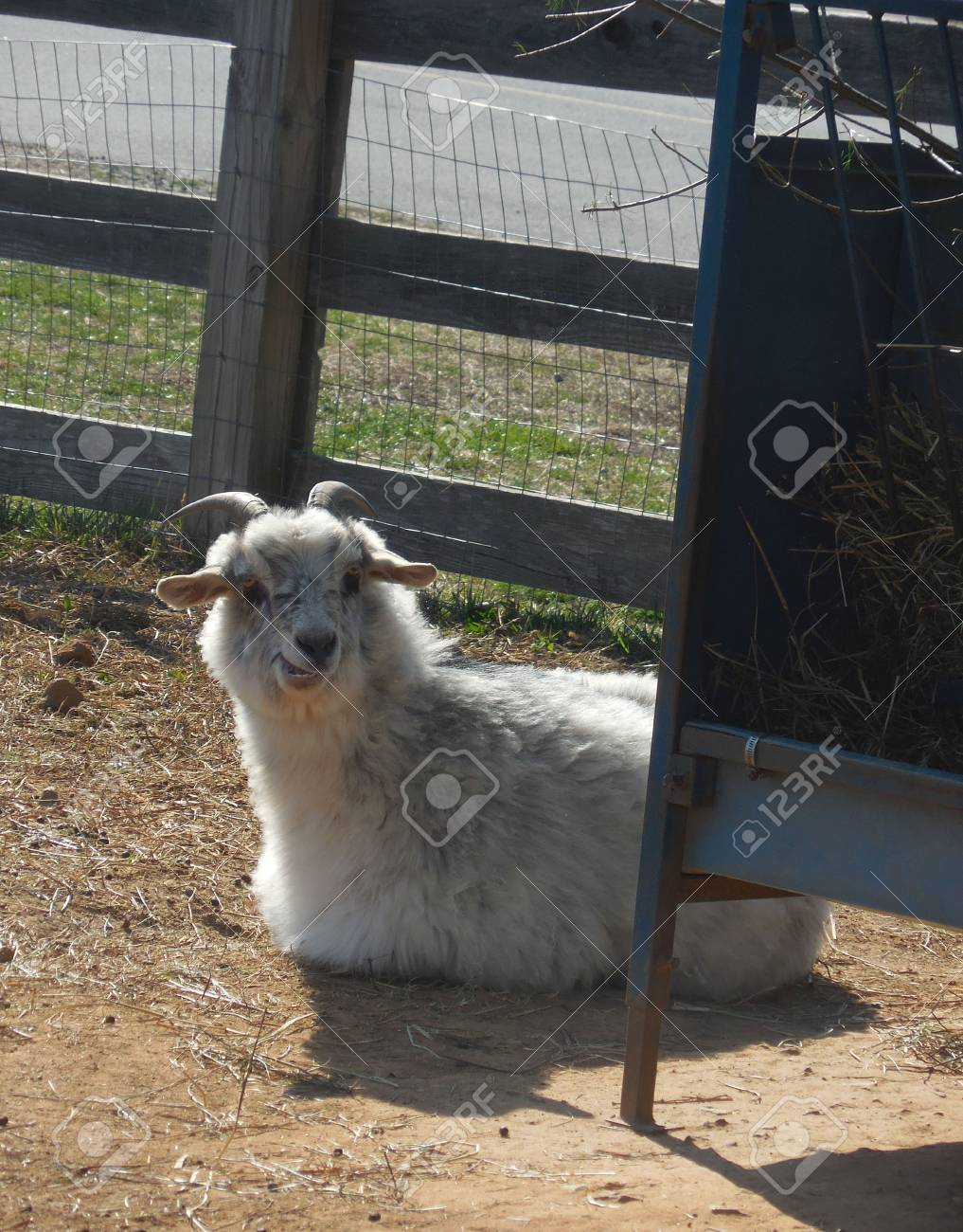 Goat Stock Photo - 91616962