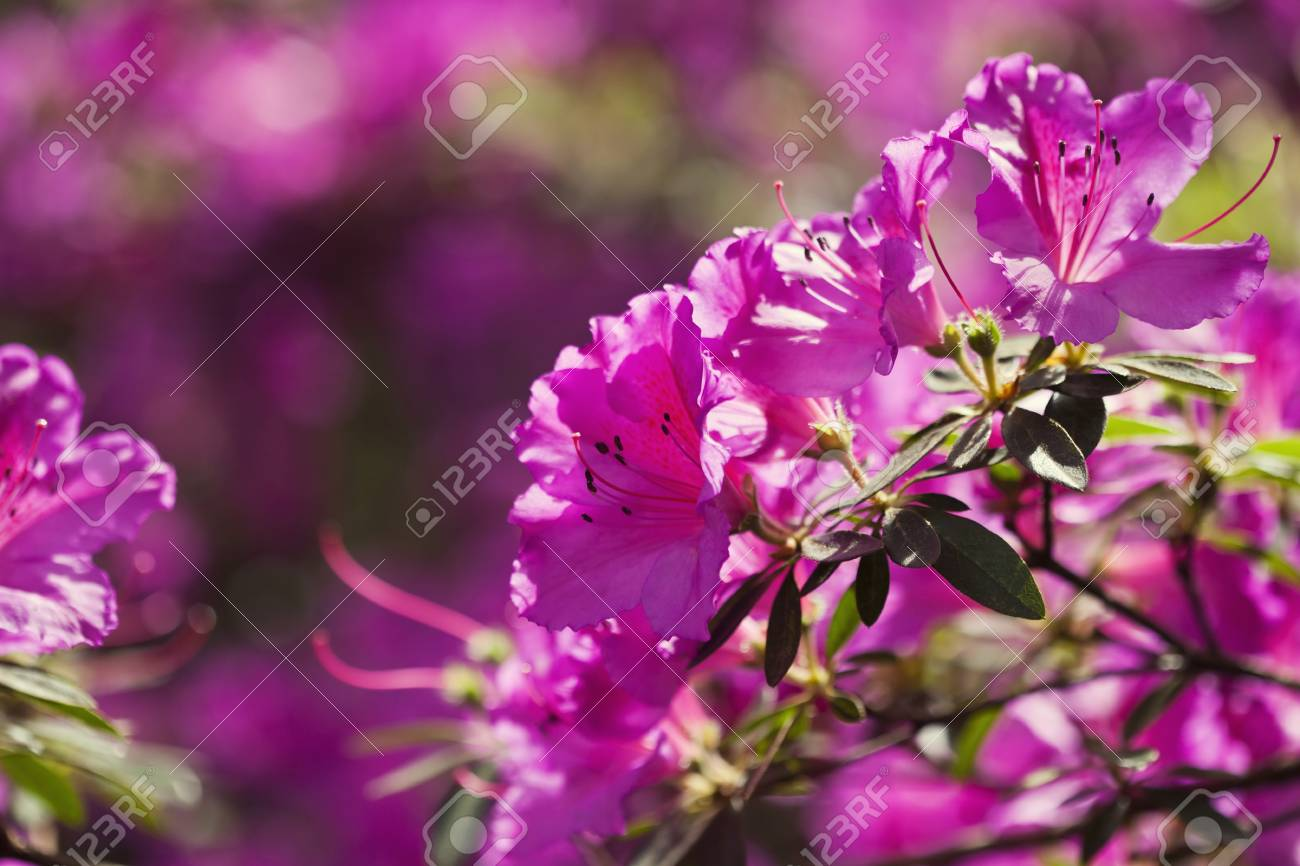 Pink Azalea Flowers In The Garden Stock Photo Picture And Royalty