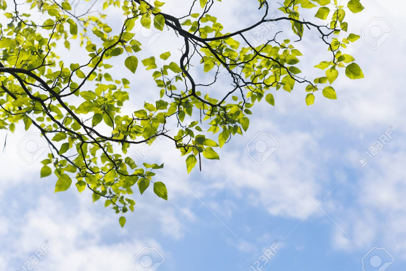 Fresh green leaves in the spring against blue sky. Stock Photo - 21085800