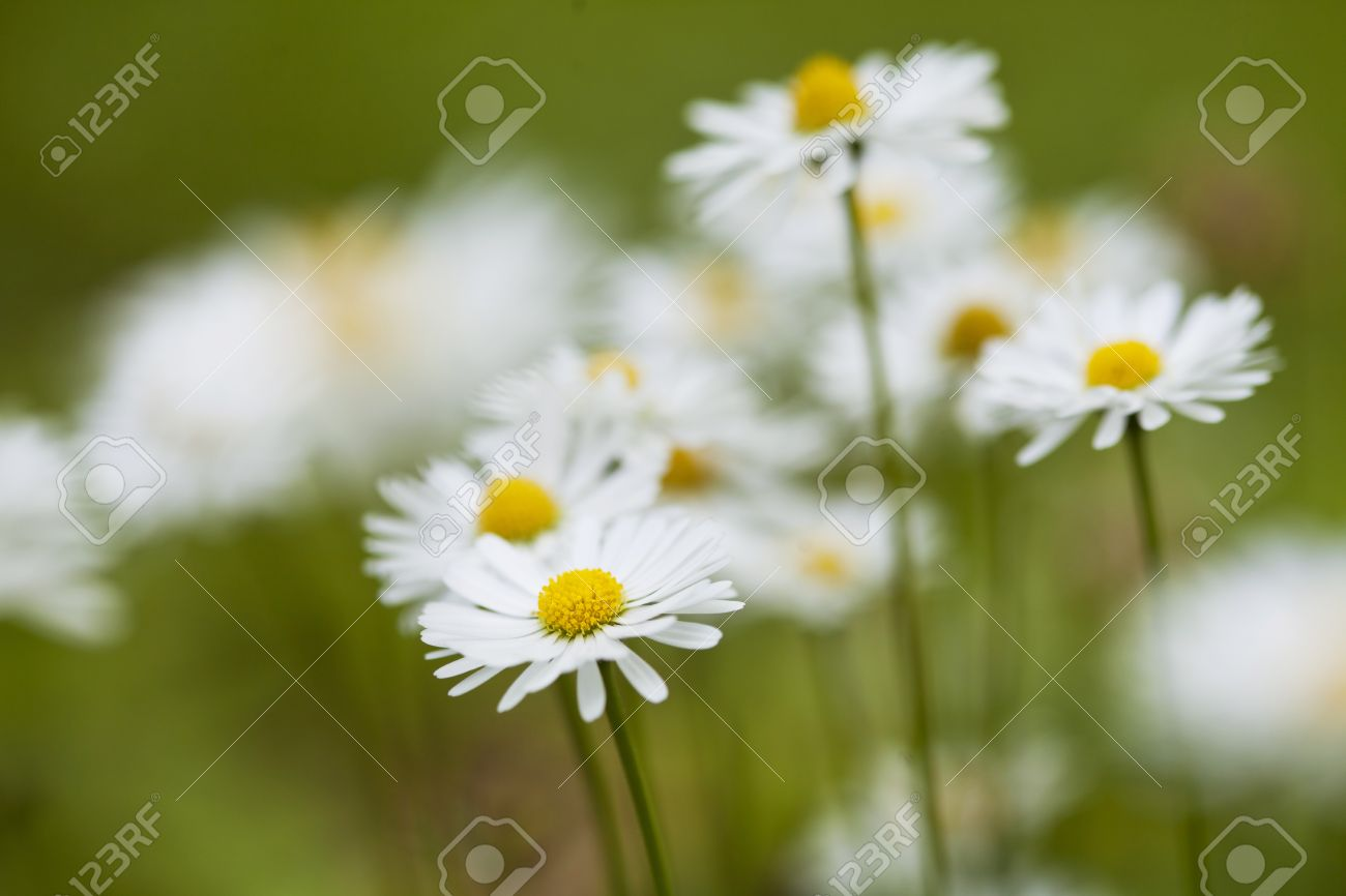 Chamomile flowers in meadow  Shallow depth of field Stock Photo - 21085932