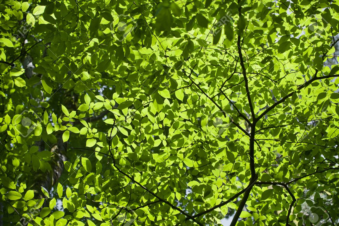 Fresh green leaves in the spring. Stock Photo - 21702831