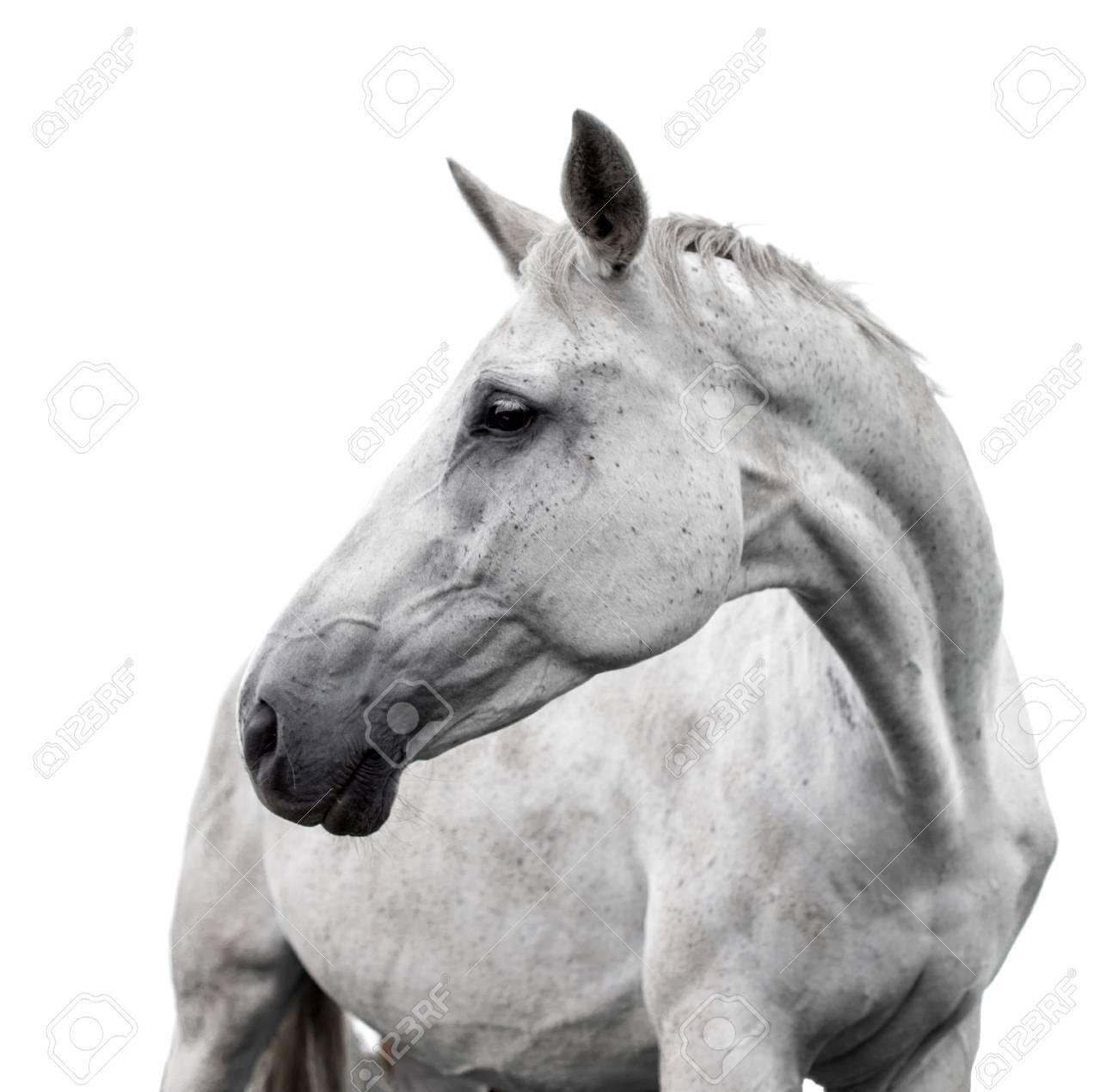White Horse On White Background Stock Photo Picture And Royalty Free Image Image 81778688