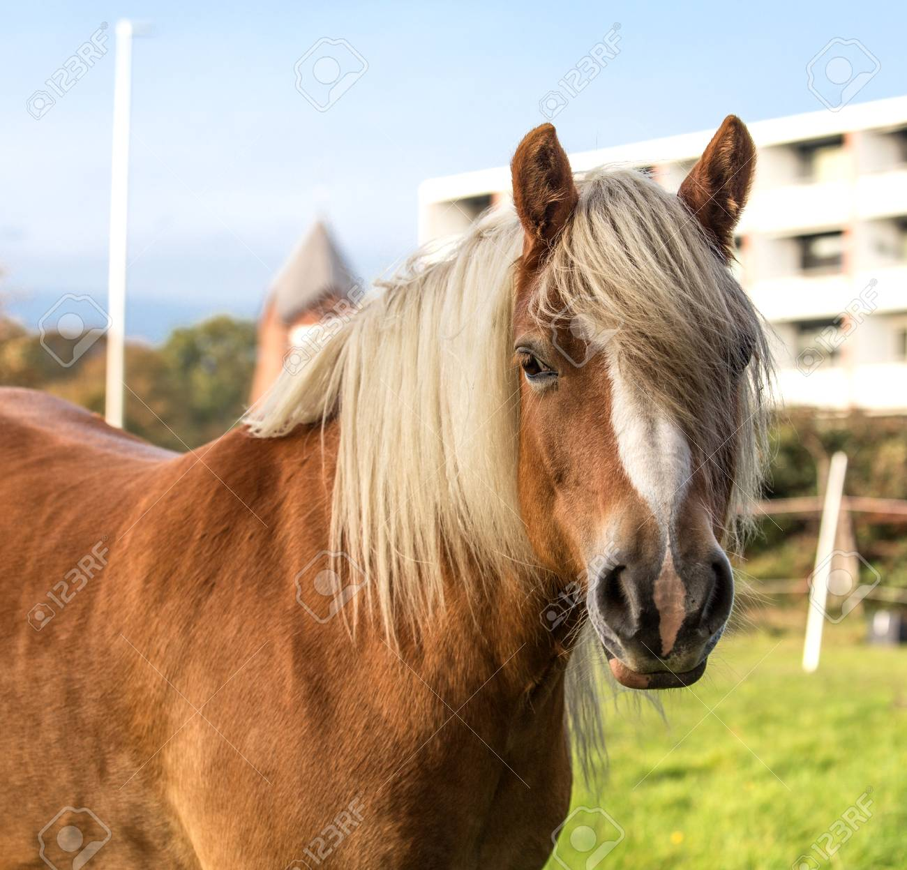 Norwegian Fjord Horse Stock Photo Picture And Royalty Free Image Image 115192211