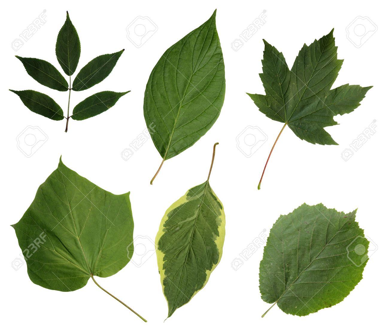 Todo Tipo De Hojas Verdes De Arboles Y Arbustos Aislados Sobre Fondo - Hojas-de-arboles
