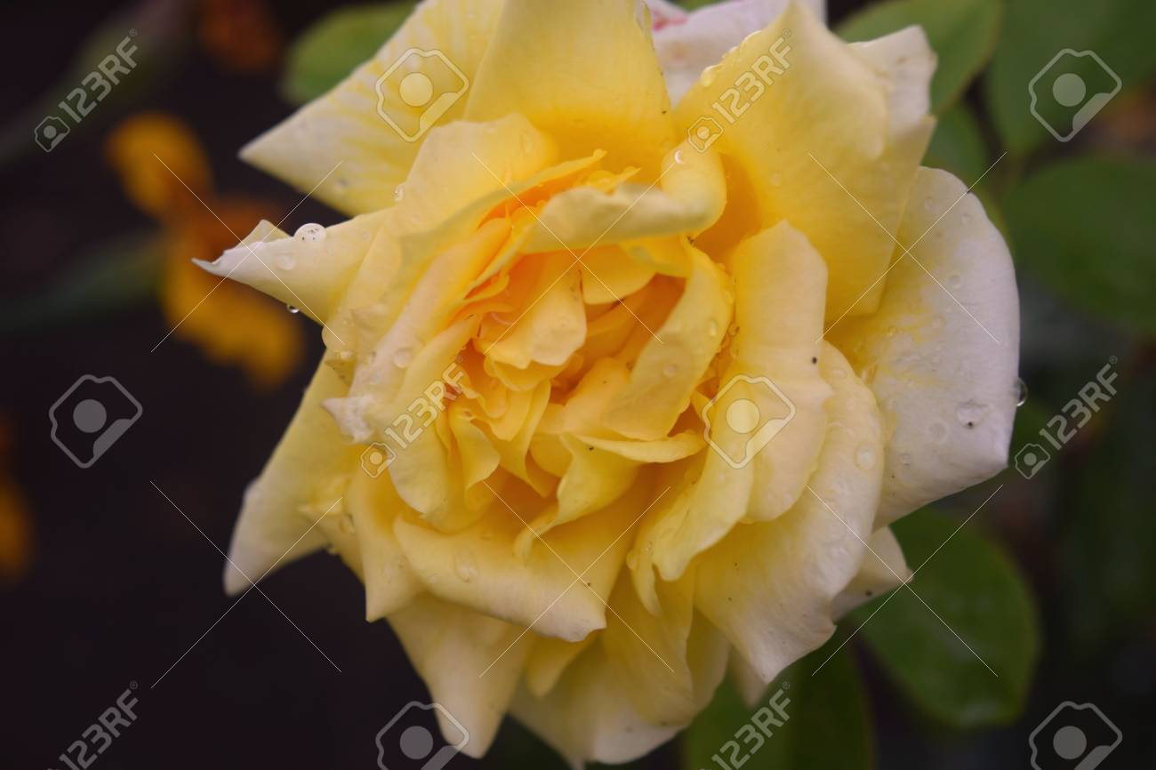 Beautiful Yellow Rose Flower In A Garden Stock Photo Picture And