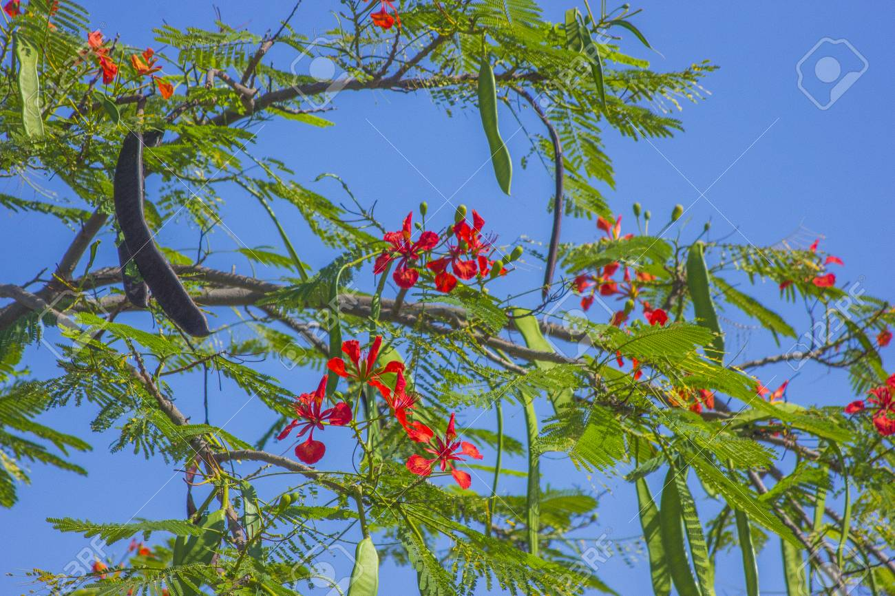 Blossoming Acacia With Red Flowers With Green Pods Stock Photo