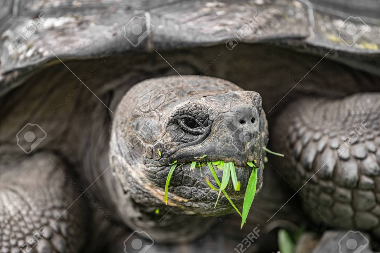 Galapagos Giant Tortoise Eating Grass On Santa Cruz Island In
