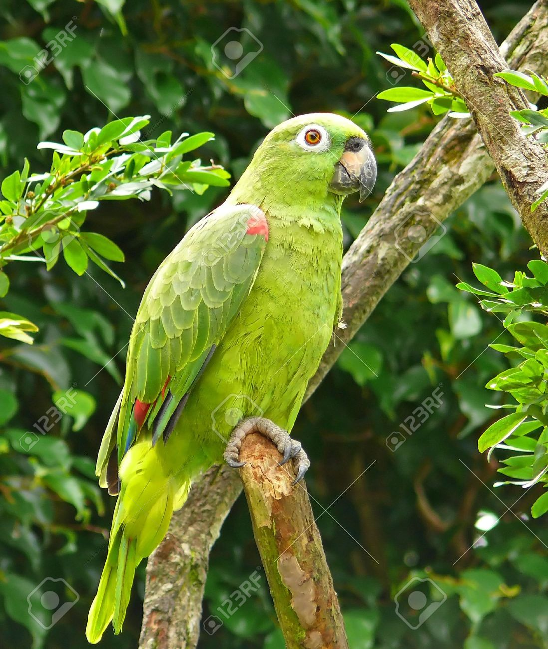 Largest Amazon Parrot a Mealy Amazon Parrot in The