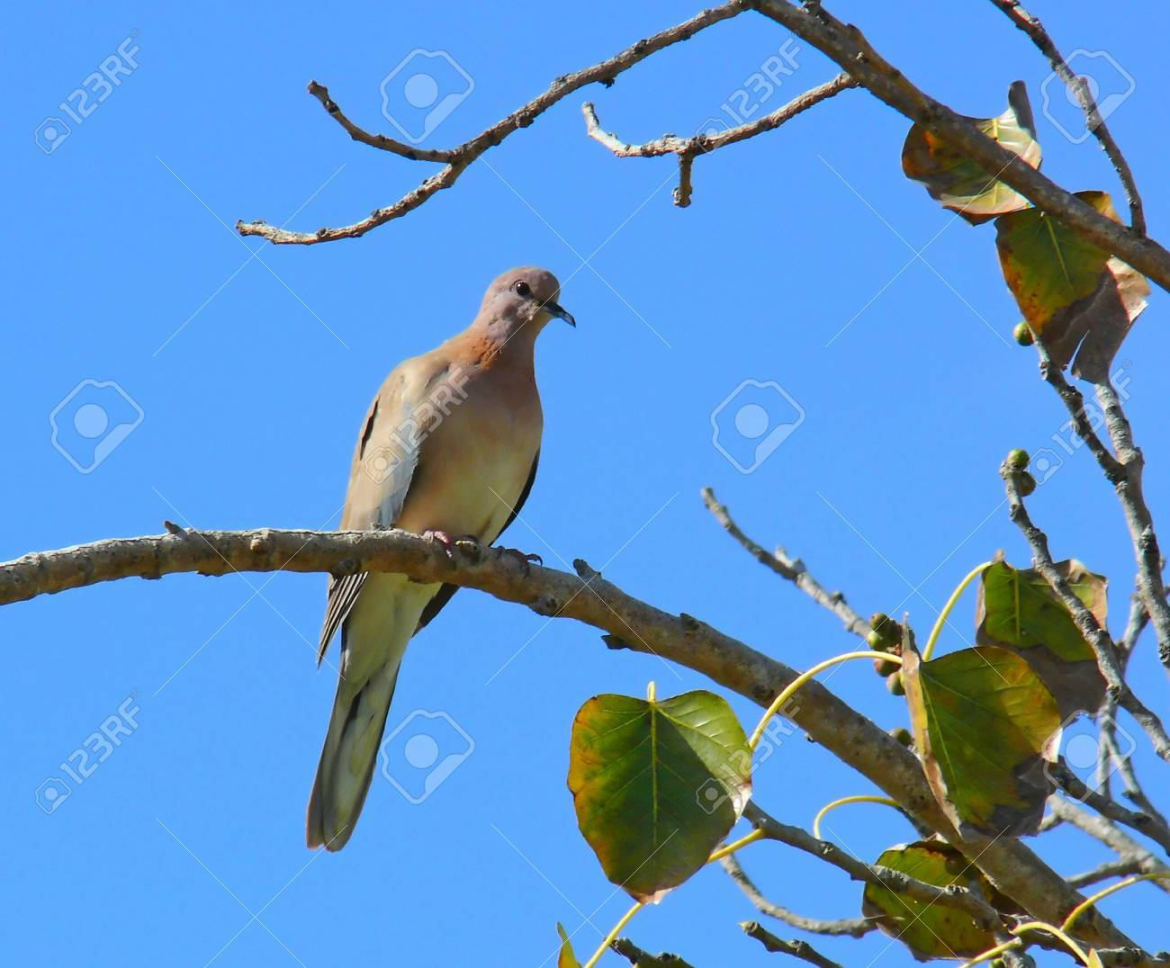 Laughing Dove perching on a tree branch in Abu Dhabi in the United Arab Emirates Stock Photo - 12158085