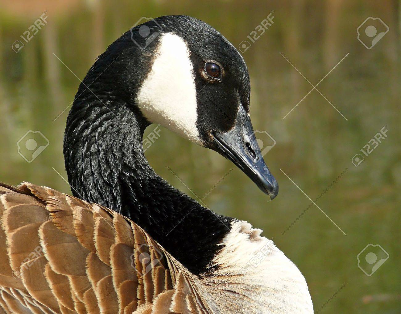 Canada goose stock photos royalty free business images canada goose face in profile looking right biocorpaavc Gallery