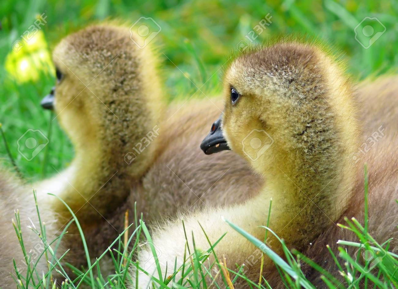 Faces of two Canada goose goslings resting in vegetation in Maryland during the Spring Stock Photo - 13906610