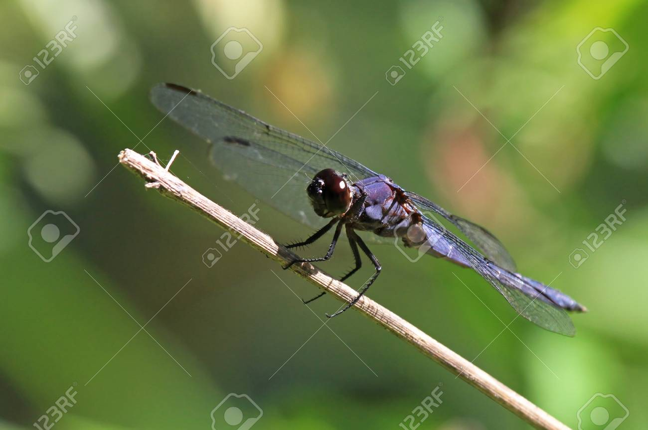Slaty Skimmer dragonfly sitting on a grass stem in Maryland during the summer Stock Photo - 14643590