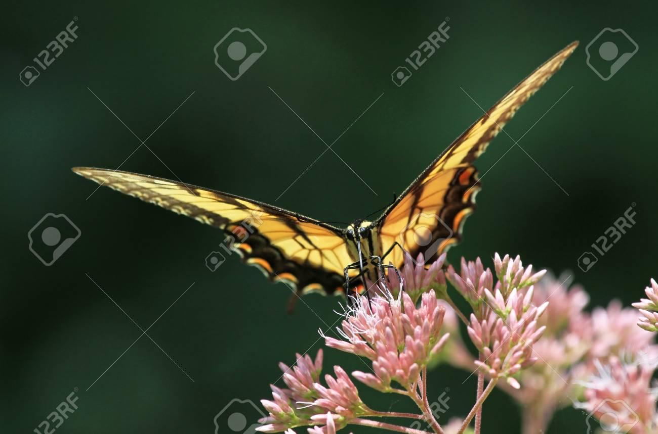 Eastern Tiger Schwalbenschwanz Schmetterling Futterung Auf Joe Pye