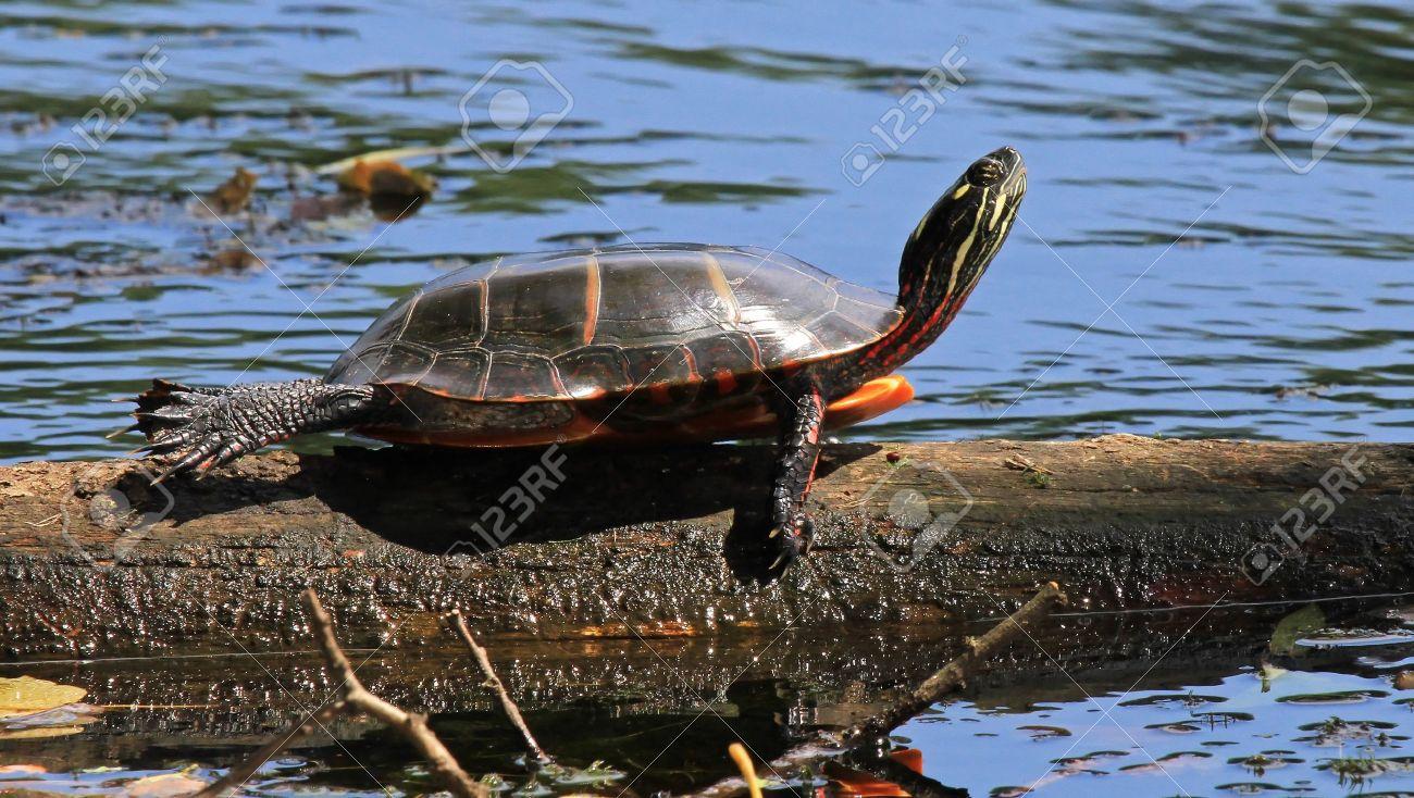 Image result for images of turtle basking on log