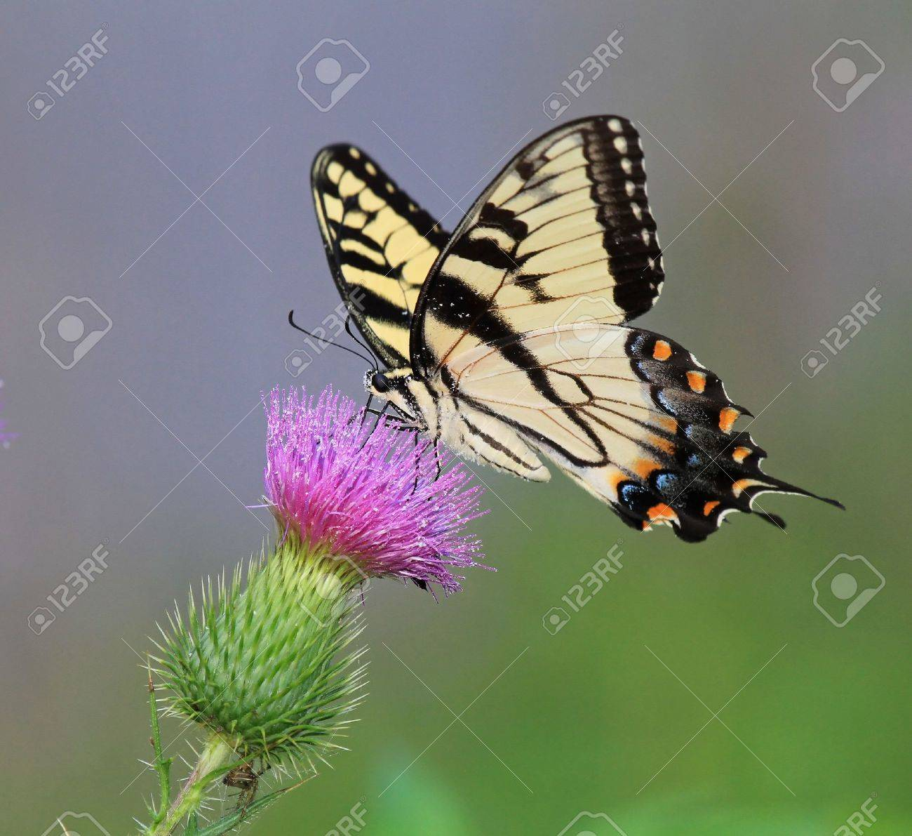 Eastern Tiger Swallowtail butterfly feeding on Spear Thistle wildflowers in Maryland during the summer Stock Photo - 14854682