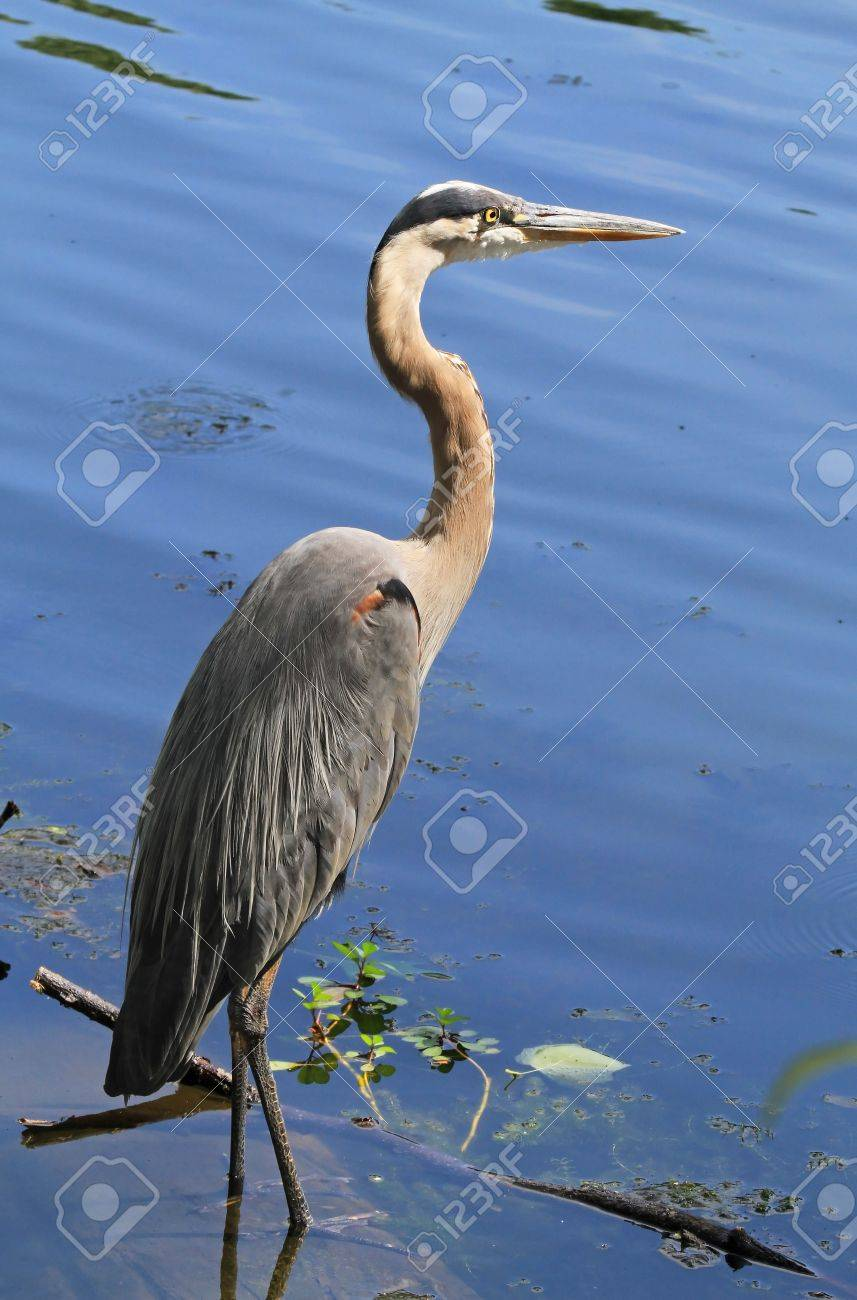 Great Blue Heron wading and hunting in a lake in Maryland during the summer Stock Photo - 14854694