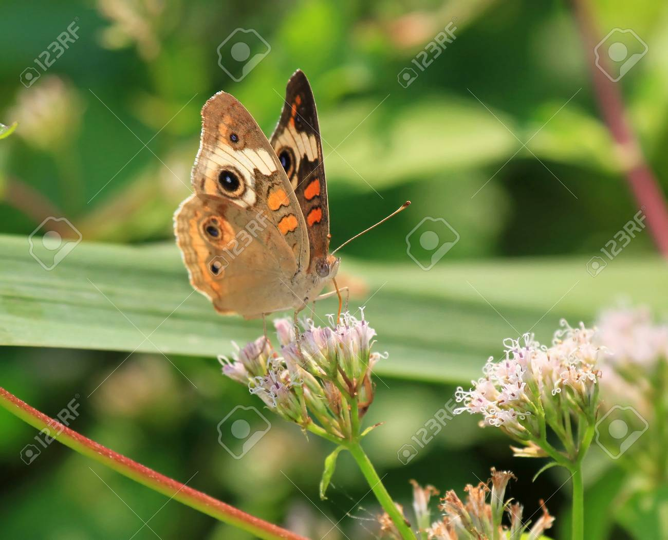 Common Buckeye Schmetterling Futterung Auf Wiese Wildblumen In