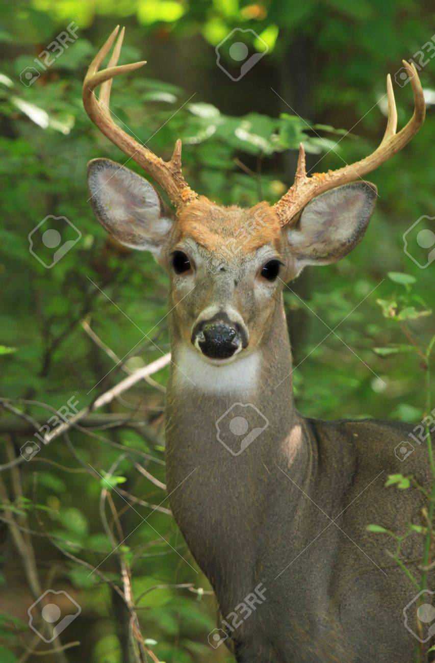 White-tailed Deer buck standing in shady woodland in Maryland during the Summer Stock Photo - 15401981