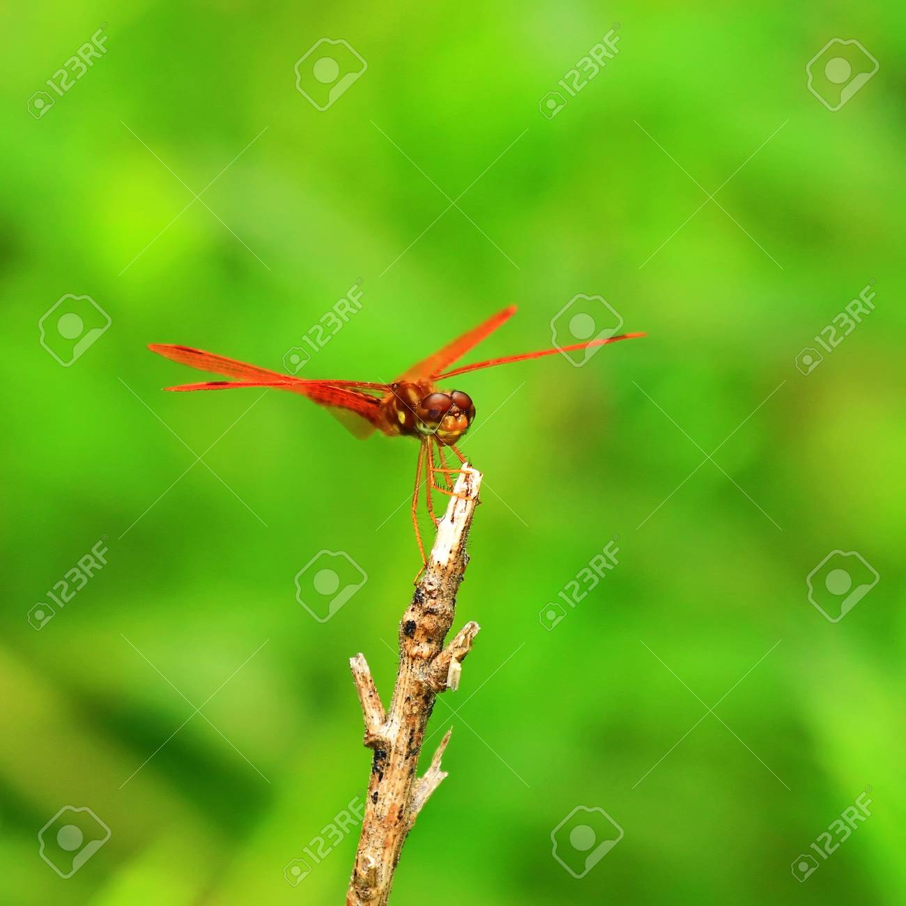 A tiny Eastern Amberwing dragonfly perching on a twig by a lake in Maryland during the summer Stock Photo - 17202743