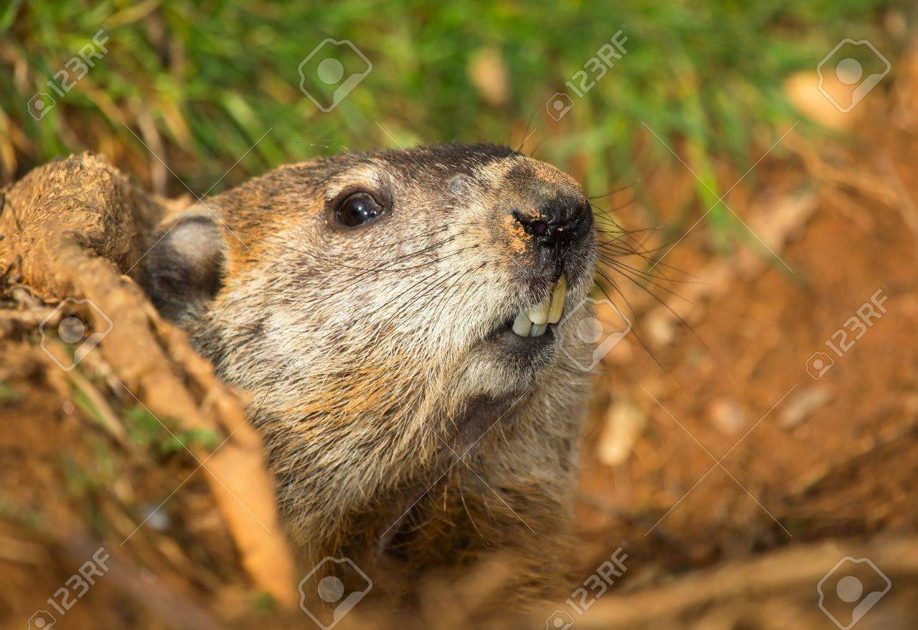 groundhog peeking out of its burrow in maryland at the end of