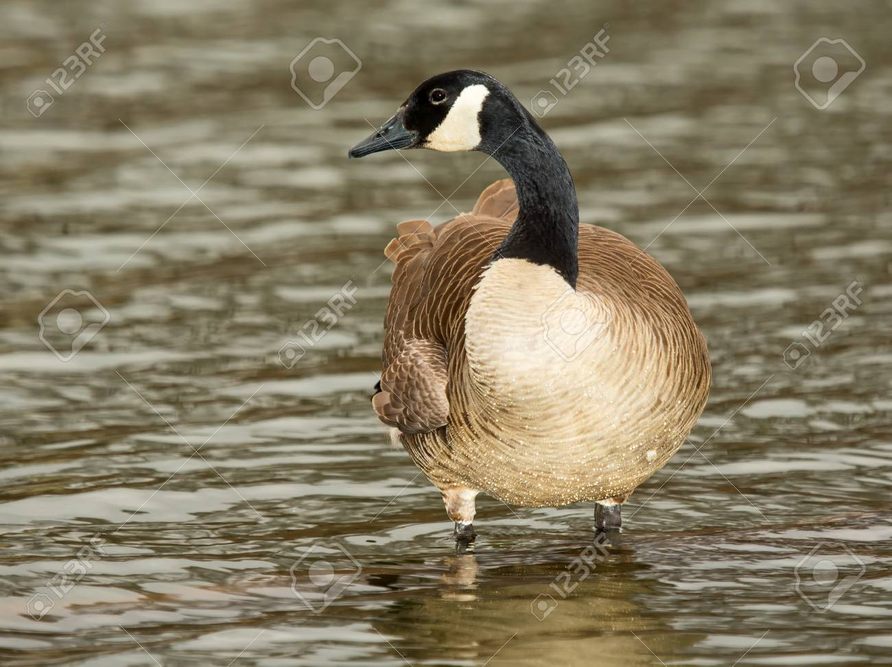 2b9946ddda7 Adult Canada Goose standing in a lake in Maryland during the Spring Stock  Photo - 18782122