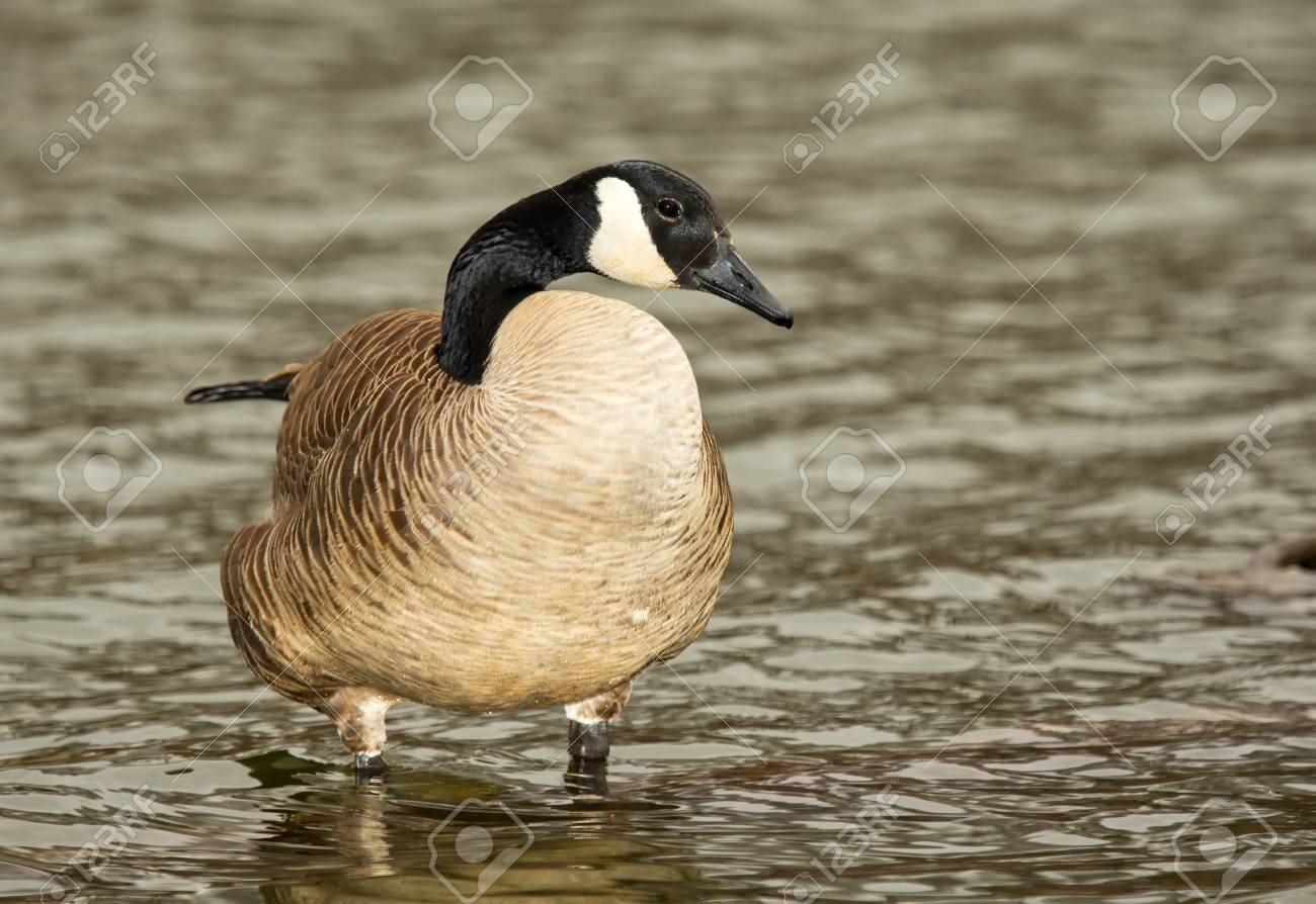 61a9d7737fd Adult Canada Goose standing in a lake in Maryland during the Spring Stock  Photo - 18782112