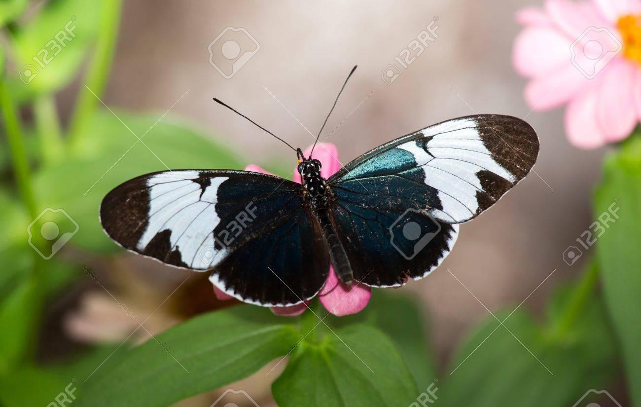 Cydno Longwing butterfly (Heliconius cydno) feeding on a flower Stock Photo - 19938499