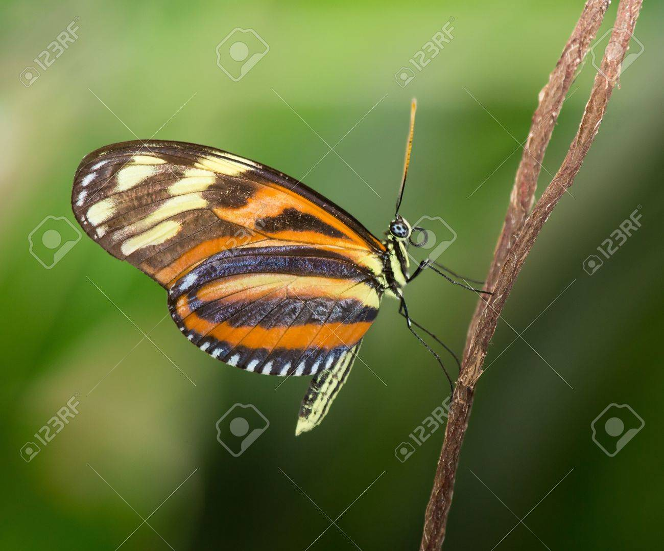Disturbed Tigerwing butterfly Mechanitis polymnia sitting on a twig Stock Photo - 20632044
