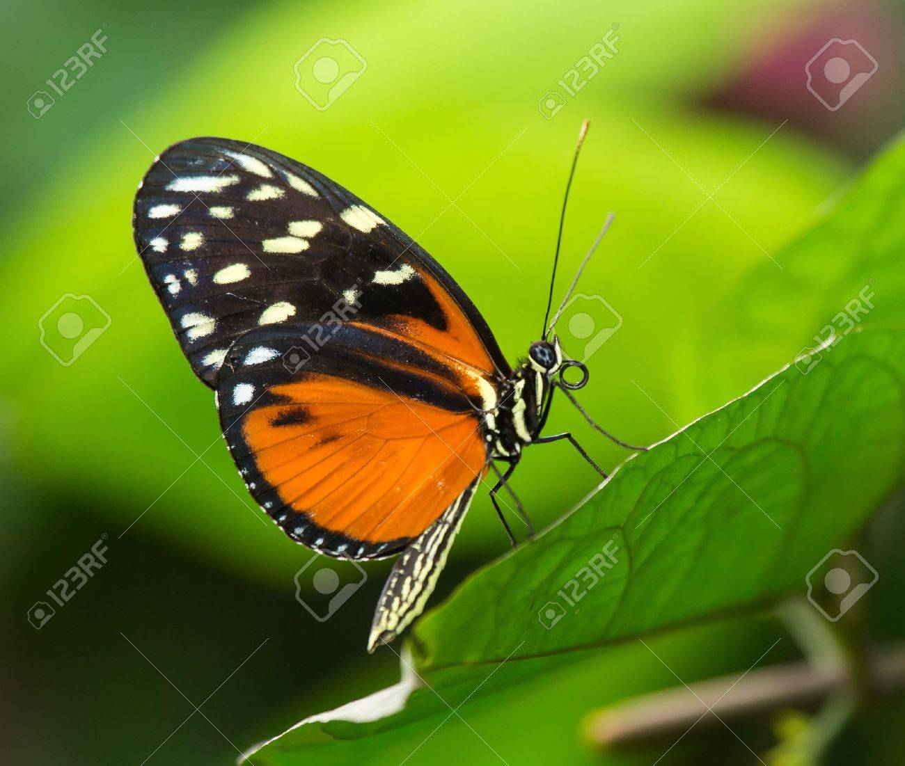 Tiger Longwing butterfly Heliconius hecale sitting on a green leaf Stock Photo - 20632062