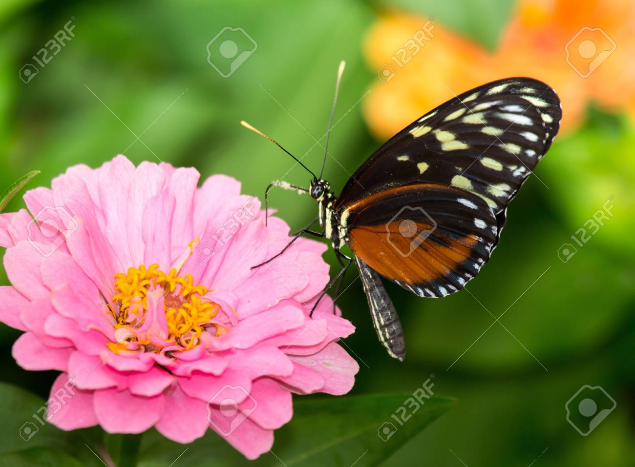 Tiger Longwing butterfly Heliconius hecale feeding on a flower Stock Photo - 20632114