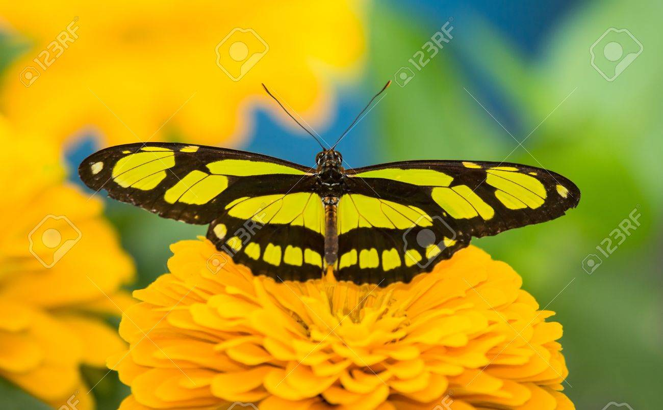 Scarce Bamboo Page butterfly Philaethria dido resting on a flower Stock Photo - 20632110