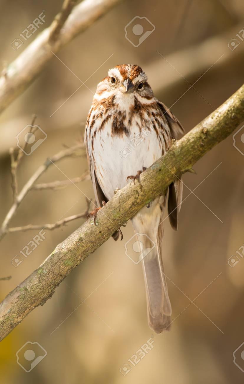 春の間にメリーランドの小枝に止まったウタスズメ Melospiza ...