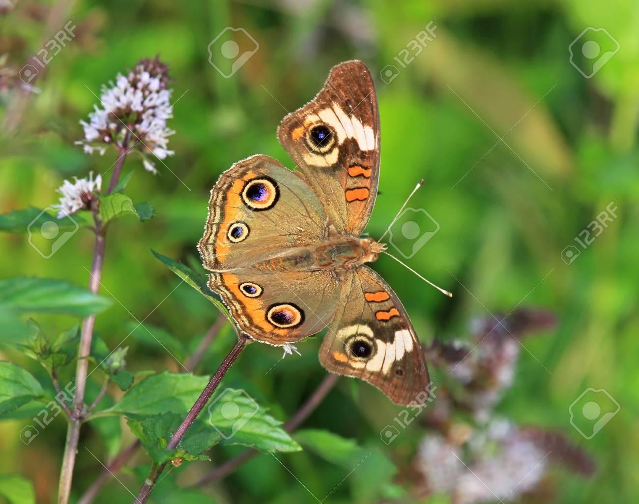 Gemeinsame Buckeye Schmetterling Junonia Coenia Futterung Auf Wiese