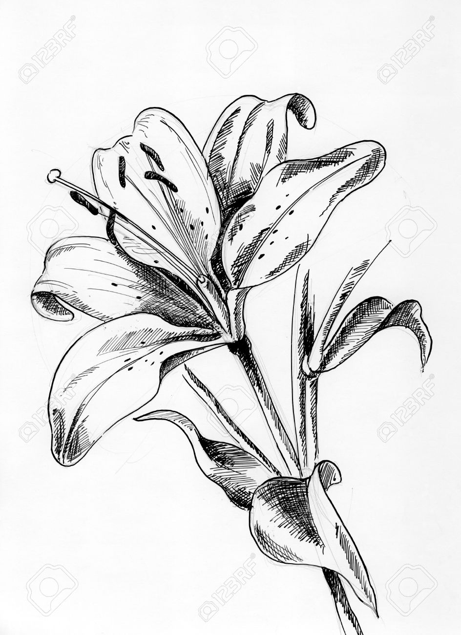 Lilly 1 a single flower drawing with pen and ink stock photo 53550620