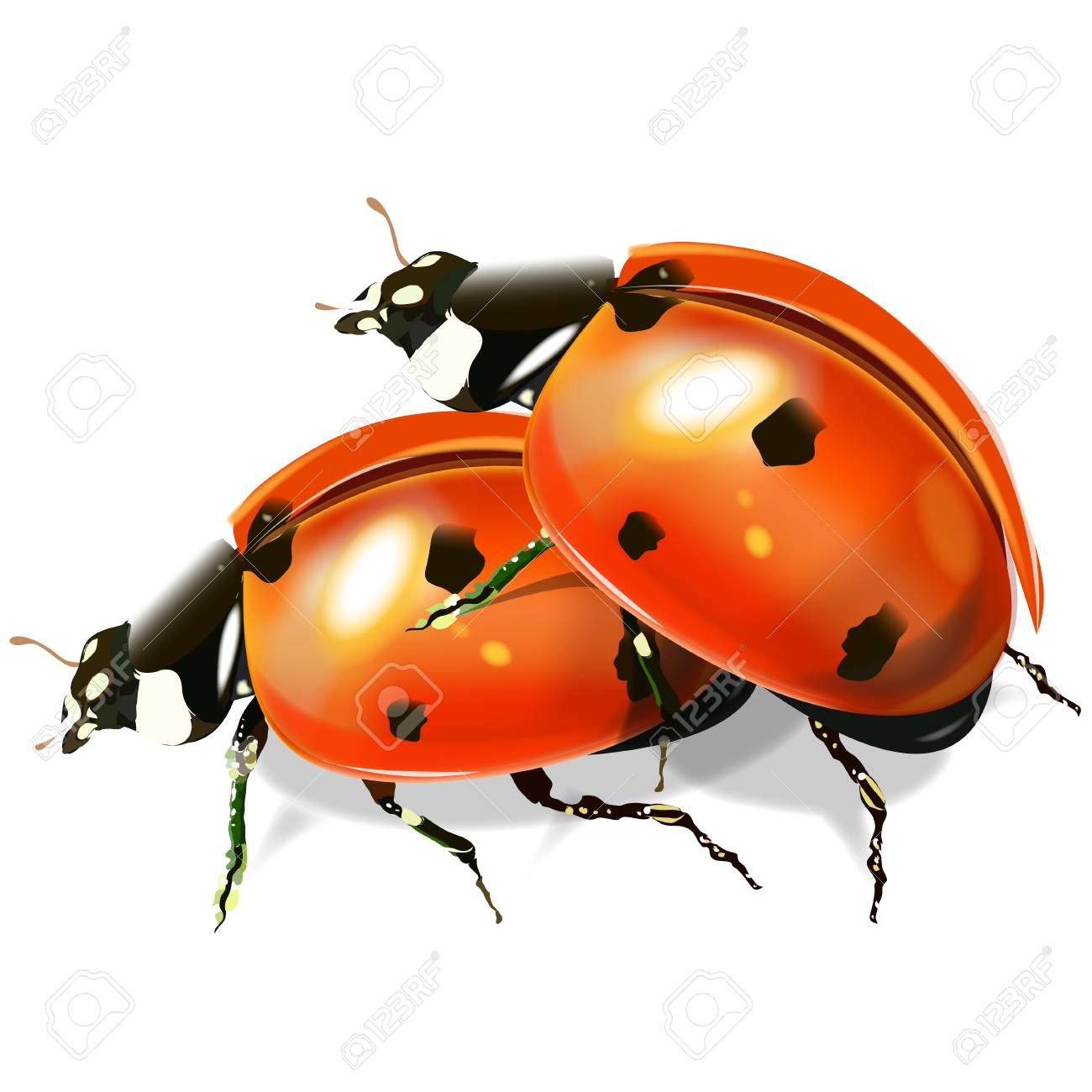 Insect ladybird  Red shade beetle  Vector image on white background