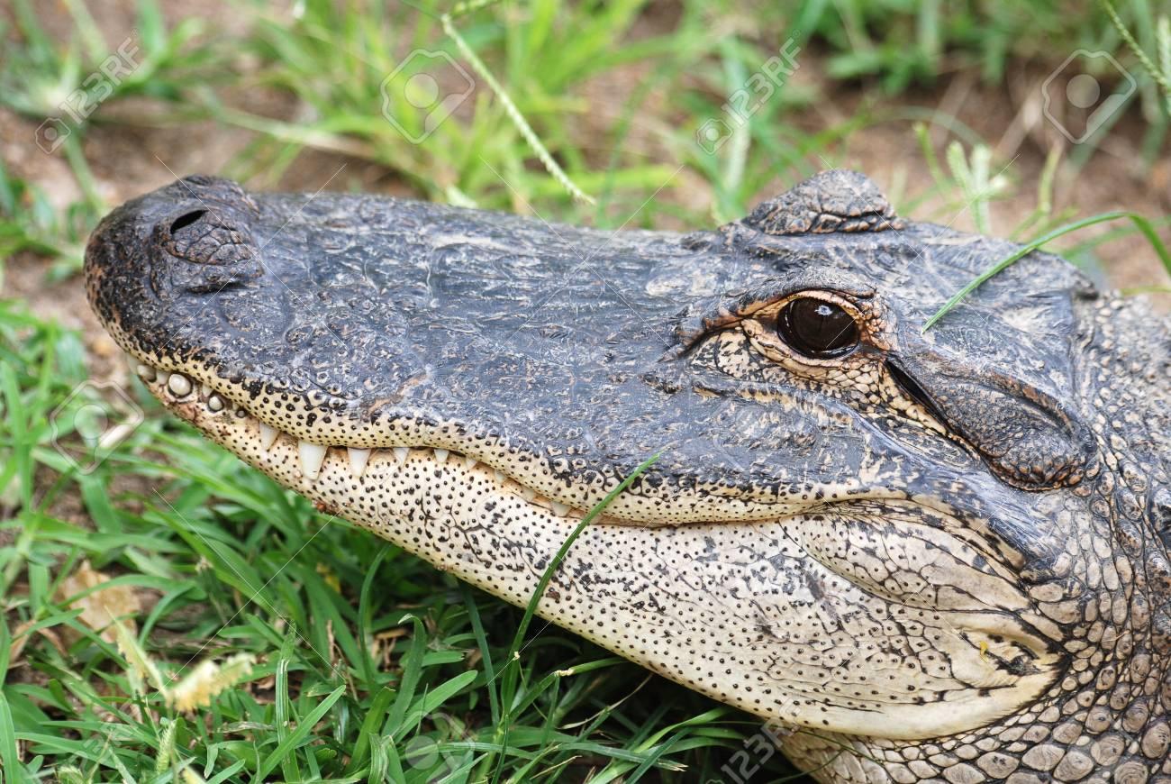 Crocodile Stock Photo - 7700929