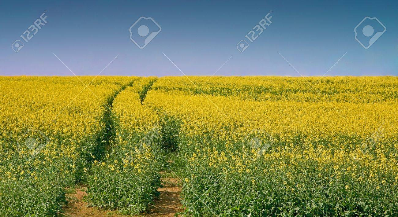 Landscape with yellow rapeseed under clear blue sky Stock Photo - 9774286