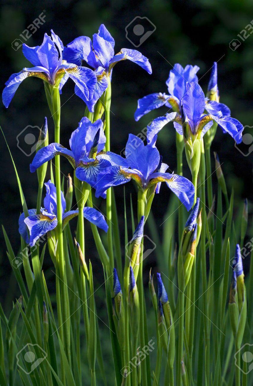 Garten blumen blau  Blaue Blumen Iris Wachsen Im Sommer Im Garten. Lizenzfreie Fotos ...