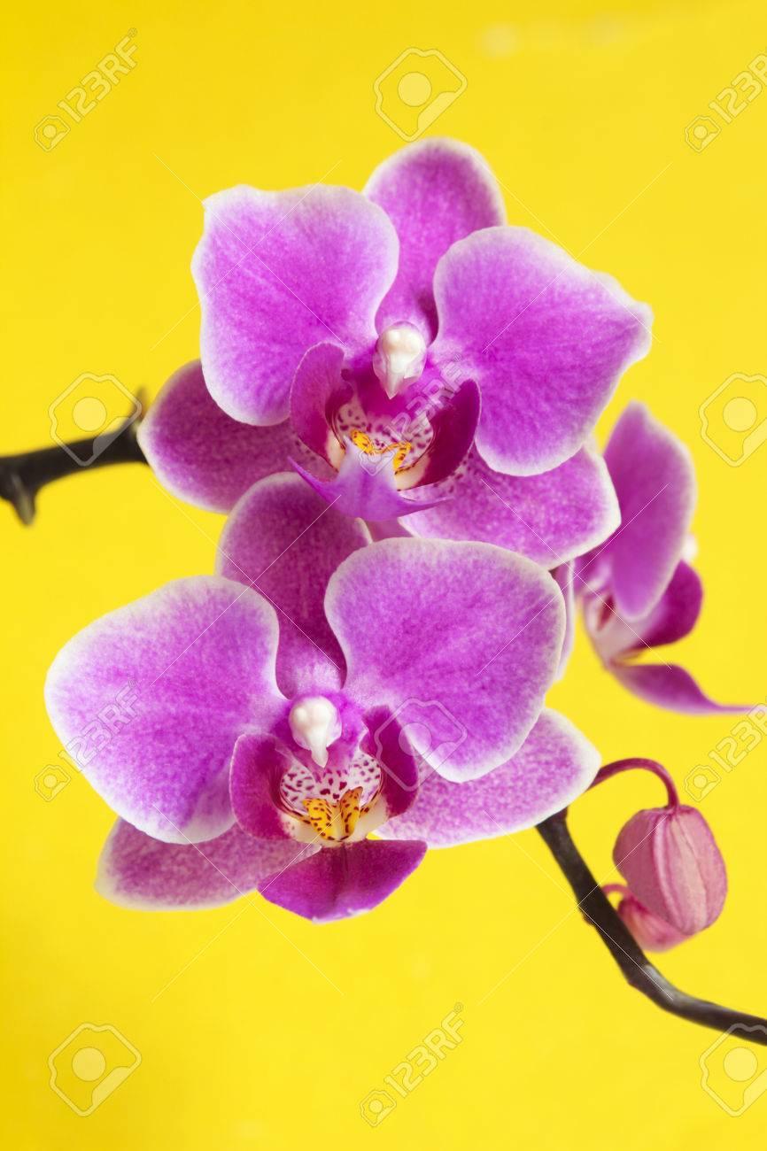 Rose Lilas Avec La Couleur Jaune Au Milieu Des Orchidees Fleur