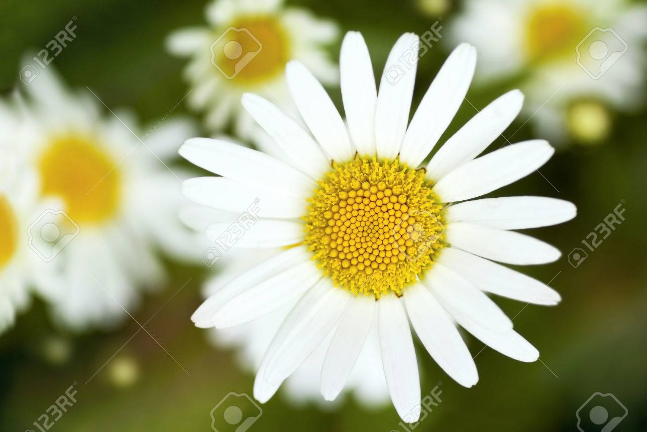 Field Daisy Flower With White Petals And Yellow Center Grows Stock