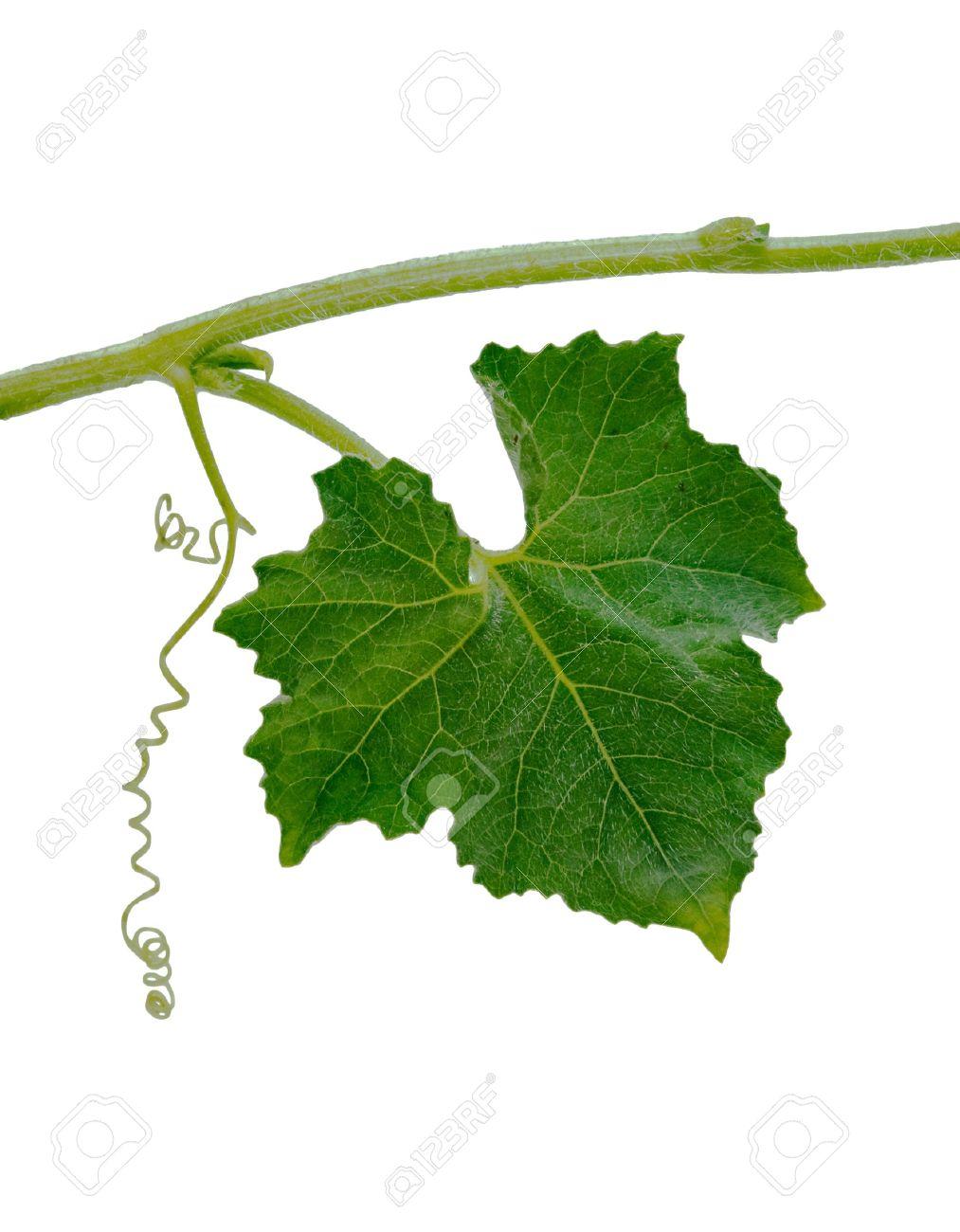 Pumpkin leaf isolated on white background Stock Photo - 5044507