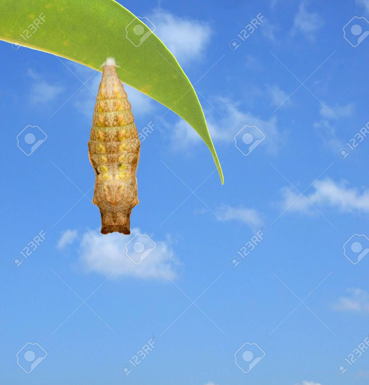 Close up of pupae of swallowtail Stock Photo - 5208796